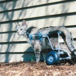 This grey cat stands tall in an Eddie's Wheels custom made cat wheelchair