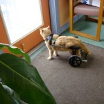 An orange cat has regained mobility in an Eddie's Wheels custom made cat wheelchair