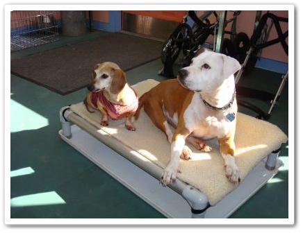 Sweet Pea and Daisy, disabled dogs